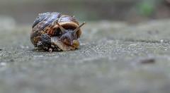 snail bokeh (wigerl - herwig ster) Tags: stone bokeh fuji35mm14 carinthia kärntnisleians europa langsam austria slowly jpeg schneckenhaus licht schautraus grey light kärnten feldkirchen foto grau looks schnecke stein österreich ooc fuji fujixt1 snailbokeh europe snailboekh snail