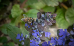 Honey makes the blues (Pejasar) Tags: honeybee garden bloom blue blossom tulsa oklahoma home honey pollen life nature