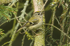 GOLDCREST (_jypictures) Tags: animalphotography animals animal canon7d canon canonphotography wildlife wildlifephotography wiltshire nature naturephotography birdphotography bird birds birdwatching birdingphotography birding birders photography pictures goldcrest
