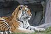 Profile portrait of Elena (Tambako the Jaguar) Tags: tiger big wild cat female tigress siberian amur lying resting profile portrait calm paws tail grass rock cave stone zürich zoo switzerland nikon d5