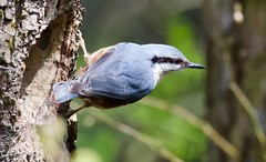 Nuthatch - Taken at The Old Tram Road between Hirwaun and Penderyn, RCT, South Wales. (Ian J Hicks) Tags: