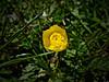 Ranunculáceas (Luicabe) Tags: airelibre botánica botóndeoro cabello cáliz corola enazamorado exterior flor hierba luicabe luis macrofotografía naturaleza ngc pétalo planta pradera ranunculusacris yarat1 zamora