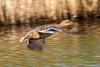 Duck fly bye (richardelliot) Tags: duck female birds bird flyby blur nikon nikond500 nikon200500 water flight feathers speed