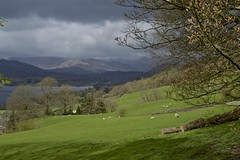 Spring in the Valley (TERRY KEARNEY) Tags: langdalepikes peaks lakewindermere lakedistrict trees fields grass grassland sheep animals skyline sky mountains mountainside mountain water watercourse ambleside cumbria canoneos1dmarkiv daylight day explore europe england flickr kearney skies landscape clouds nature oneterry outdoor terrykearney urban wildlife 2018 animal field tree