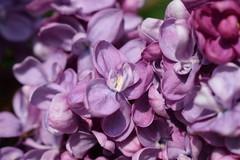 Lilac SOOC (flowergirlaaa) Tags: lilac sooc straightoutofcamera purple 7dwf closeup macro flower