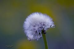 ... weed (mariola aga) Tags: spring meadow plant weed herb dandelion bokeh closeup coth alittlebeauty coth5 thegalaxy