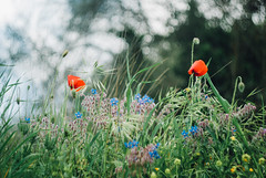 days of the King II (culuthilwen) Tags: sonyalpha230 helios44m6 helios44m helios 58mm f2 m42 vintagelens sonysti dof bokeh blurry nature spring poppies flowers meadows red blue green