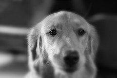 Hopeful, but uncertain... (Peeb OK) Tags: dog pet goldenretriever acros bw blackandwhite mono monochrome fujifilm fuji nikon nikkor portrait