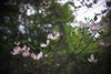 DSC08205 (Old Lenses New Camera) Tags: sony a7r wollensak raptar 38mm f19 plants garden tree flowers branches dogwood