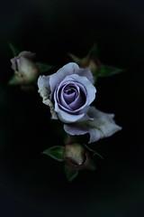 Blue Bayou (slowhand7530) Tags: nikon d800e carlzeiss makroplanart250zf makroplanar macroplanar makroplanart250 rose