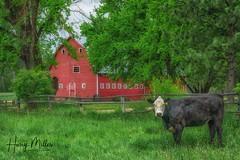 Eat More Chicken (HarryMiller002) Tags: montana ranch barn cow bitterroot rural