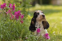 Puppy with flowers. (Gergely_Kiss) Tags: dogbreed canine kutyakölyök spanielpuppy puppy dog englishcockerspaniel cockerspaniel