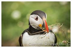 "Puffin gathering nesting material  - Atlantic Puffin /  Fratercula arctica - Taken at the coast of Skomer Island, Pembrokeshire, Wales, UK (R ERTUG) Tags: atlanticpuffin fratercula arctica skomerisland pembrokeshire wales nikkor200500mmf56eafsed nikond610fx wildlifephotography birdphotography rertug ""nikonflickraward"" papageitaucher frailecillo atlántico macareux moine siapopegei fradinho papegaaiduiker pulcinella di mare ニシツノメドリ(西角目鳥) ertug"