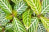 Green and White! (BGDL) Tags: lightroomcc nikond7000 nikkor50mm118g bgdl landscape niftyfifty lakewoodranch florida garden plant leaves patterns week21 weeklytheme flickrlounge