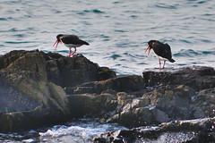 Oystercatchers (philk_56) Tags: jersey channel islands bird sthelier oystercatchers seabirds sea water rocks