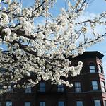 Brooklyn Blossoms thumbnail