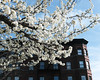 Brooklyn Blossoms (Zach K) Tags: flowers blossoms trees herbert von king park nyc brooklyn nycparks parks parksdept springtime pollen is air new york city brownstone bedstuy bed stuy bedford stuyvesant fujifilm fuji x100f walkabout goodweather