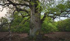 Keeper of the Forest (jkiter) Tags: urwaldsababurg deutschland baum landschaft eiche sababurg pflanze wald natur hessen germany landscape nature outdoor forest oak plant