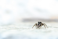 ♂︎ Salticus scenicus (CJH Natural) Tags: spider spinner salticusscenicus minimal macro makro simple white grey negativespace perspective