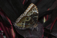 Butterfly 2018-13 (michaelramsdell1967) Tags: butterfly butterflies nature animal animals insect insects beauty beautiful vivid vibrant dark red purple pretty macro closeup upclose wing bug bugs garden plant spring springtime lovely photography photo eyes zen