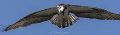 Hungry Osprey (NikonDigifan) Tags: birdwatching birds osprey raptor idaho wildlife fernanlakeidaho pacificnorthwest nikond500 trucks tamron tamron150600g2 tamronlenses mikegassphotography