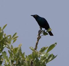 _DSC2539-editCC (Dave Krueper) Tags: africa southafrica birds birding bird starling