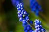 Grape Hyacinth (Tony Howsham) Tags: canon eos70d eos 70d sigma 105mm macro hyacinth flower flora floral flowers my garden lowestoft suffolk