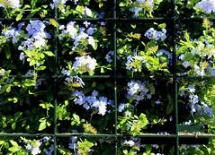´Jazmín azul entre rejas. (camus agp) Tags: cuadrados rejas flores plumbagos celestina setos españa canon hierro