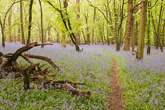 Bluebell woods (A_Peach) Tags: england spring surrey bluebellwoods bluebells flowers plant flower nature availablelight mft m43 lumix panasonic microfourthird micro43 apeach anjapietsch panasoniclumixg5