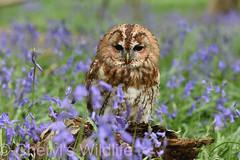 Tawny Owl (Cheryl's Wildlife) Tags: british wildlife centre britishwildlifecentre uk surrey kent bluebells littleowl barnowl owls tawnyowl longearredowl snowyowl nature woodland sigma nikon