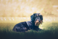 Resting in the park (Ro Cafe) Tags: milonga pet dog doggie teckel dachshund outdoors park garden grass cute lovely portrait nikkor2470f28 nikond600