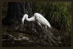 Gathering Sticks for a Nest (karith) Tags: bird waterbird egret greatwhiteegret nestbuilding alameda karith