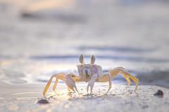 Life around the waters edge... (Santanu Sen) Tags: beach seashore crab ghostcrab vijaynagarbeach havelockisland andamansea andaman india animal island crustacean