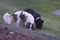 Where you sniff, I sniff too (Urban and Nature OZ) Tags: dog pets frenchbulldog cavalierkingcharlesspaniel dogs pups petdog frenchie spaniel