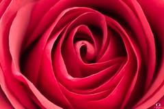 Le cœur de Rose.. The heart of Rose.. (Didier Gozzo) Tags: flower fleur outdoor canon macro heart cœur rose rouge