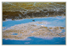 Ripple in still water, When there is no pebble tossed, Nor wind to blow (JohnKuriyan) Tags: american coot coyote hills regional park san francisco bay