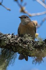 Clarke_180426_7618.jpg (www.raincoastphoto.com) Tags: birds birdsofcanada thrusheslarksandpipits sialiamexicana westernbluebird birdsofnorthamerica birdsofbritishcolumbia britishcolumbia canada
