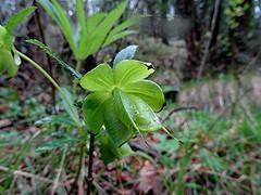Grüne Nieswurz - Helleborus viridis, NGIDn1115160 (naturgucker.de) Tags: ngidn1115160 naturguckerde grünenieswurz helleborusviridis 649561984 2128523129 822325746 chorstschlüter