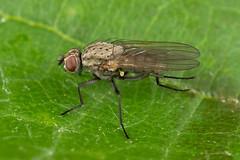 Delia sp. (NakaRB) Tags: insecta diptera anthomyiidae delia 2016