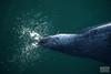 noyo-Eyemouth-Seals-2018-1149 (Noyo Photography) Tags: seal greyseal wildlife aquaticmammal scotland blowing naturephotography tamron150600 tamron150600mmf563vcusdg2