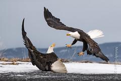 Bald Eagles (karenmelody) Tags: accipitridae accipitriformes alaska animal animals baldeagle bird birds haliaeetusleucocephalus kachemakbaynearhomer usa vertebrate vertebrates