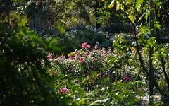 Autumn garden, Southern Hemisphere (Murfomurf) Tags: urrbrae universityofadelaide waiteinstitute garden roses englishstyle lavender trees autumn light australia southaustralia southernhemisphere seasons sunlight sunshine