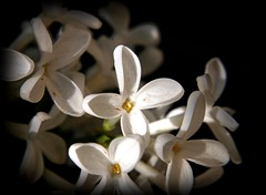 ( lilac + chiaroscuro ) (god_save_the_green) Tags: clairobscur chiaroscuro lilas lilac macro flower may2018 olympusepl1 mathildeaudiau white whiteflowers pistil yellow black zoomup flora nature environment flore