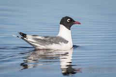 Franklin's Gull (Turk Images) Tags: franklinsgull gulls birds alberta laridae prairie beavercounty frgu laruspipixcan spring