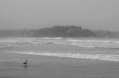 Great Hill (Bud in Wells, Maine) Tags: kennebunk maine parsonsbeach fog greathill gull newengland coastal coast bw monochrome