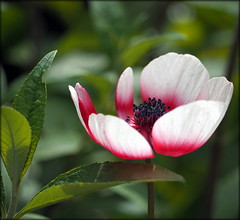 Anemone (Colin Massey) Tags: anemone garden spring flowers singleflower red flora