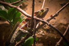 "Chameleon • <a style=""font-size:0.8em;"" href=""http://www.flickr.com/photos/28630674@N06/41169095834/"" target=""_blank"">View on Flickr</a>"