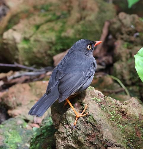 Slaty-backed Nightingale-Thrush