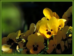 Smiling violets in our garden  !! (jac hendrix) Tags: violets yellow smiling garden viooltjes tuin lachende geel sun zon