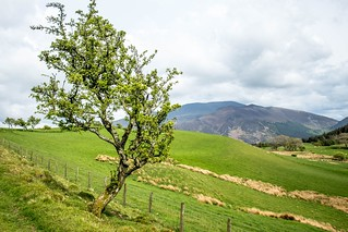 Skiddaw and a tree